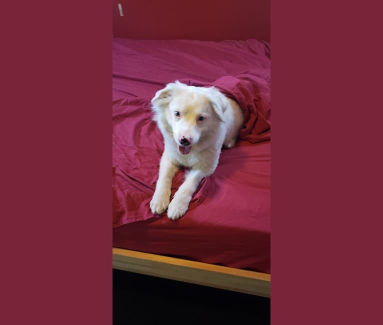 Photo of Kimba, an Australian Shepherd Group  in Irvine, California, USA
