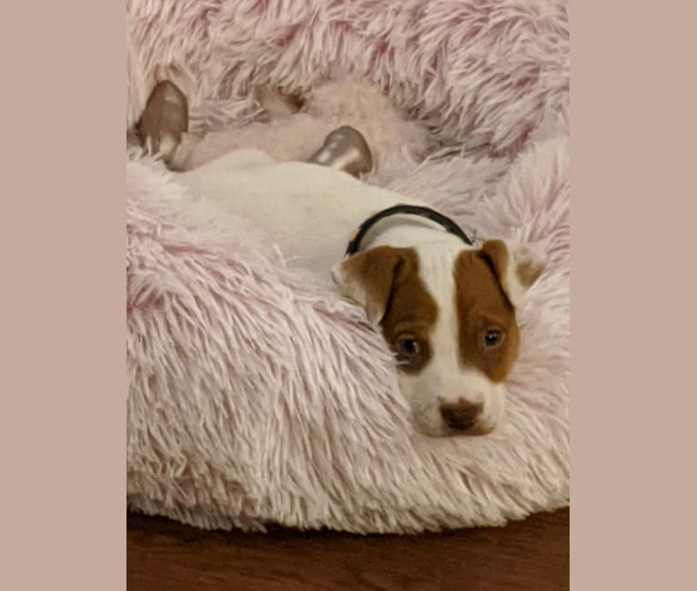 Photo of Lolita, an American Pit Bull Terrier, Australian Cattle Dog, Boxer, Poodle (Small), and Chihuahua mix in Texas, USA