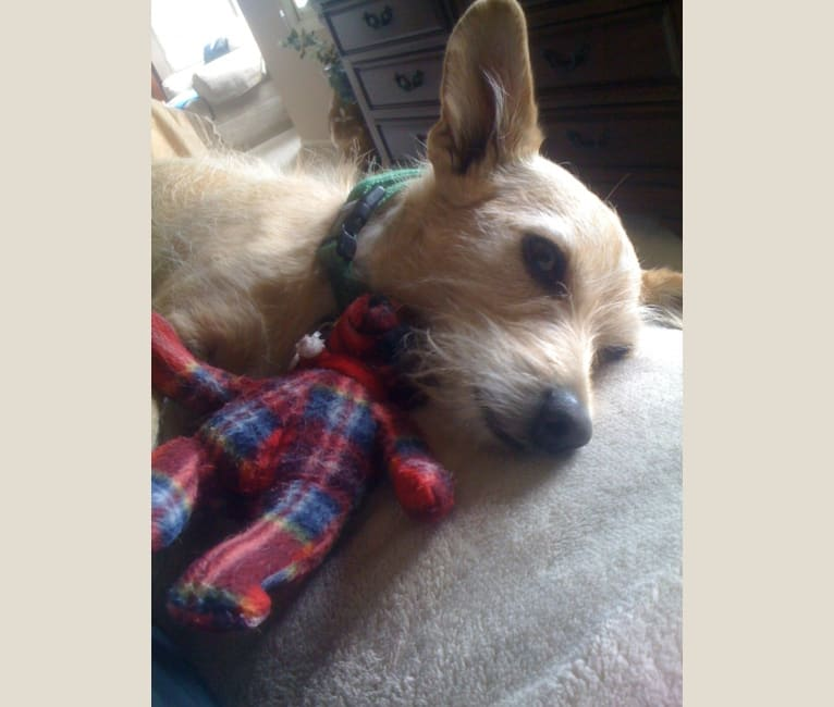 Photo of LUCKY, a Chihuahua, Poodle (Small), and Mixed mix in Denver, Colorado, USA