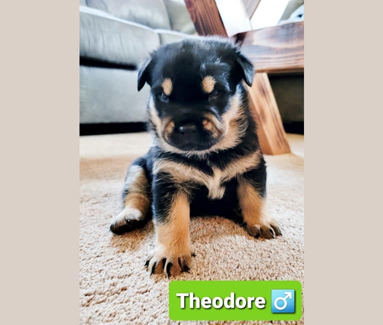 Photo of Alvin, Simon,  Theodore, an Alaskan Malamute, Australian Cattle Dog, German Shepherd Dog, Rottweiler, Chow Chow, and Mixed mix in Yakima, Washington, USA