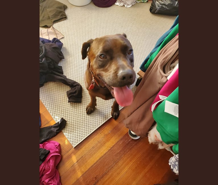 Photo of Rufus, a Labrador Retriever, American Pit Bull Terrier, and Australian Cattle Dog mix in Rantoul, Illinois, USA