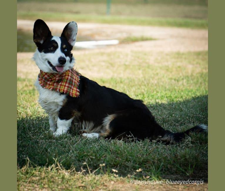 Photo of Duke, a Cardigan Welsh Corgi  in Emory, TX, USA