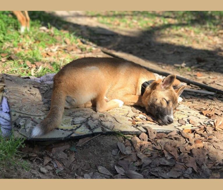 Photo of The Wizard's Koga Tāne, a New Guinea Singing Dog