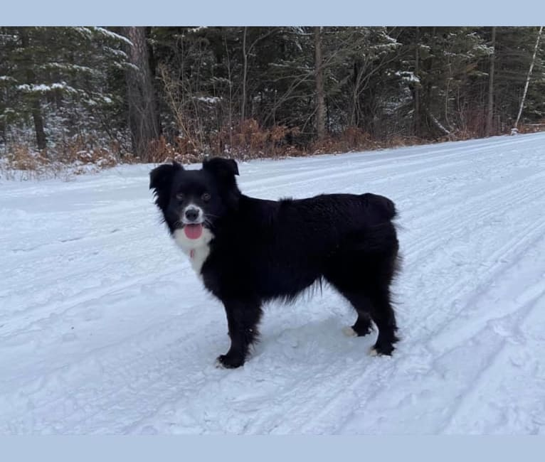 Photo of Lucky, an Australian Shepherd Group  in Andover, Minnesota, USA