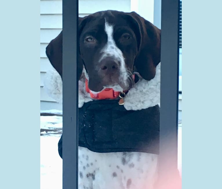 Photo of Breezie Rose, a German Shorthaired Pointer  in Oklahoma, USA