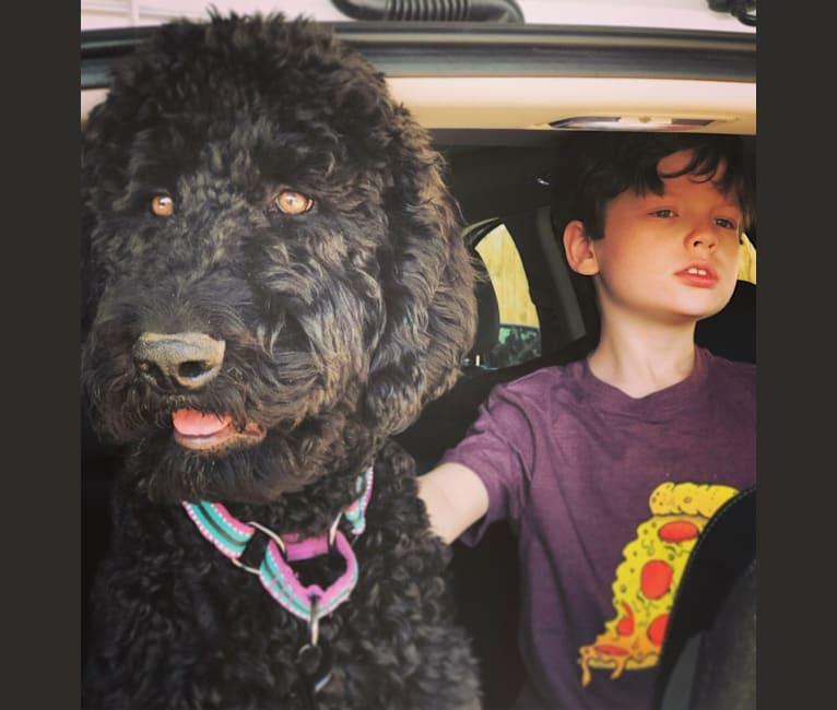 Photo of Holger, an Aussiedoodle  in Sedona, AZ, USA