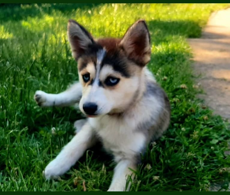 Photo of Rheìa, a Pomsky  in Gripport, France