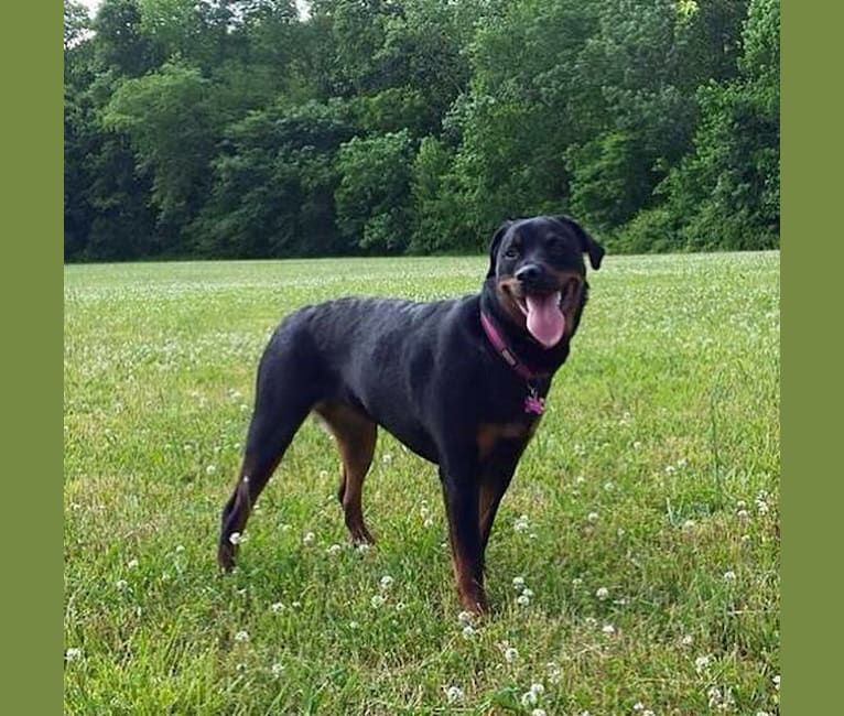 Photo of Ripley, a Rottweiler  in Florida, USA