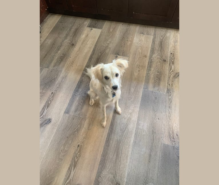 Photo of Rhea, a Chihuahua, Poodle (Small), Cocker Spaniel, American Pit Bull Terrier, and Mixed mix in Moreno Valley, California, USA