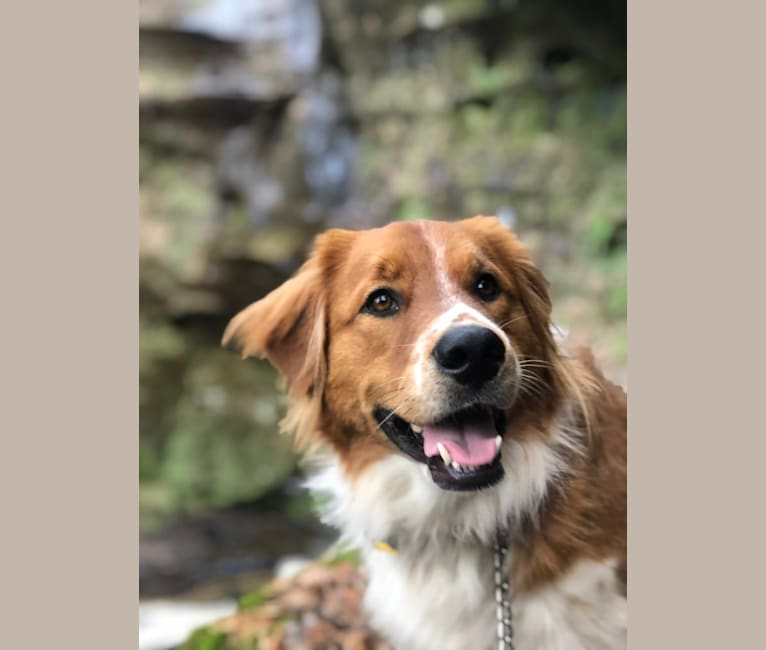 Photo of Opie, a Shetland Sheepdog, Treeing Walker Coonhound, Great Pyrenees, and Mixed mix in Columbus, Ohio, USA