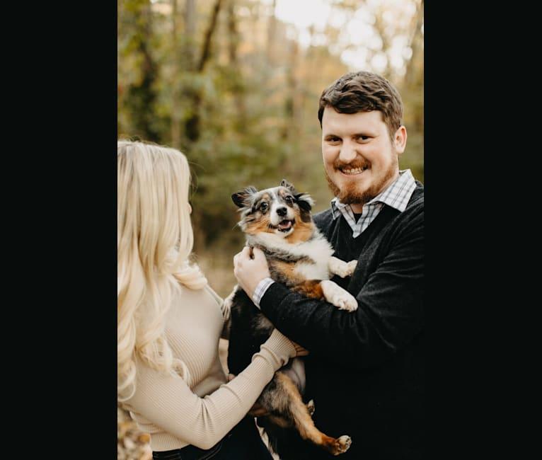 Photo of Smoky, a Shetland Sheepdog  in Nashville, Tennessee, USA
