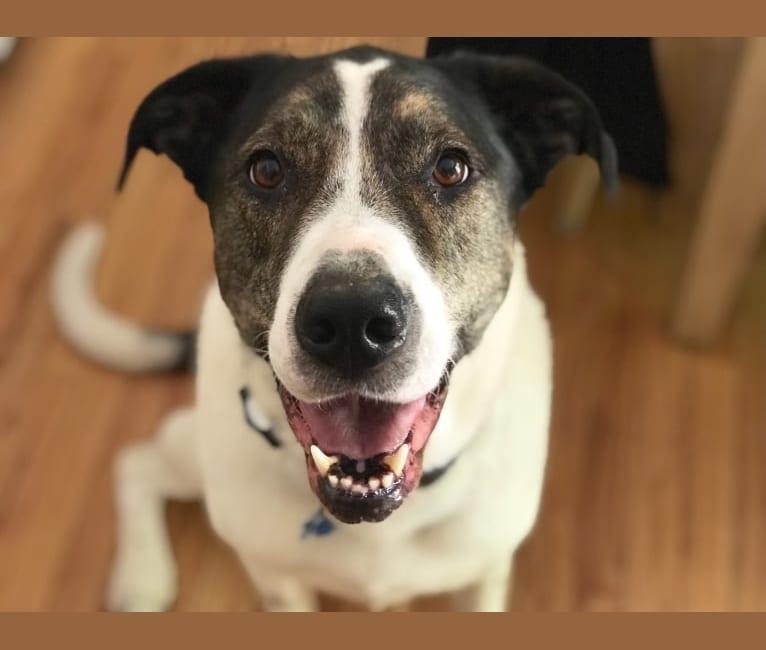 Photo of Moose, a Rottweiler, Siberian Husky, Golden Retriever, American Pit Bull Terrier, German Shepherd Dog, and American Bulldog mix