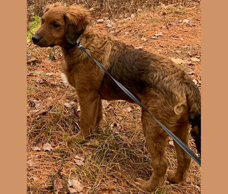 Photo of Milkyway Grizzly Adams, a Poodle (Standard), Australian Cattle Dog, and Labrador Retriever mix in Tennessee, USA