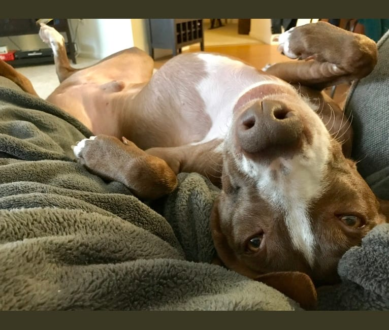Photo of Lucky, an American Pit Bull Terrier and Labrador Retriever mix in Puerto Rico