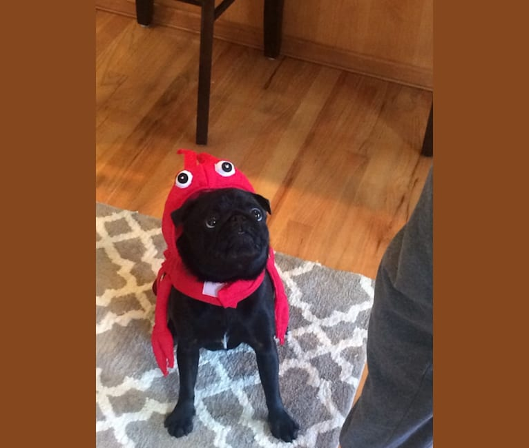 Photo of Todd Barkley, a Pug  in St. Helens, OR, USA