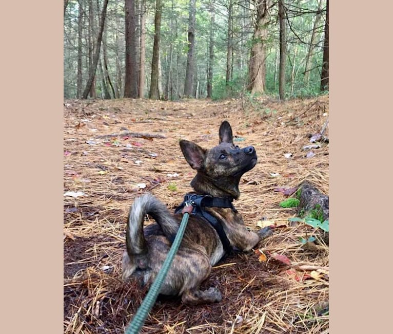 Photo of Remington, a Rat Terrier, Chihuahua, Russell-type Terrier, and Mixed mix in Connecticut, USA