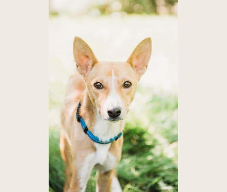 Photo of Ebo, a Basenji, Miniature Schnauzer, and American Eskimo Dog mix in Phoenix, Arizona, USA