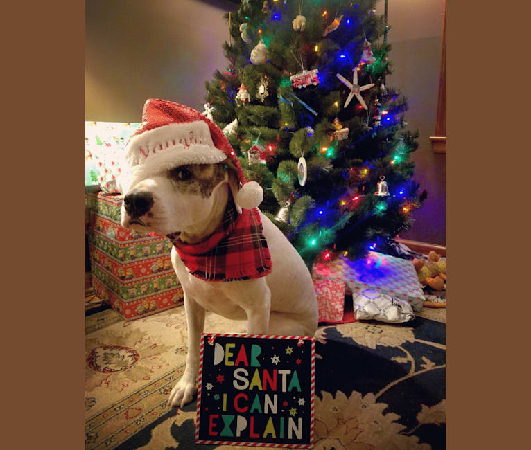 Photo of Roo, an American Pit Bull Terrier, Mastiff, Boxer, Rottweiler, and American Bulldog mix in Overland Park, Kansas, USA