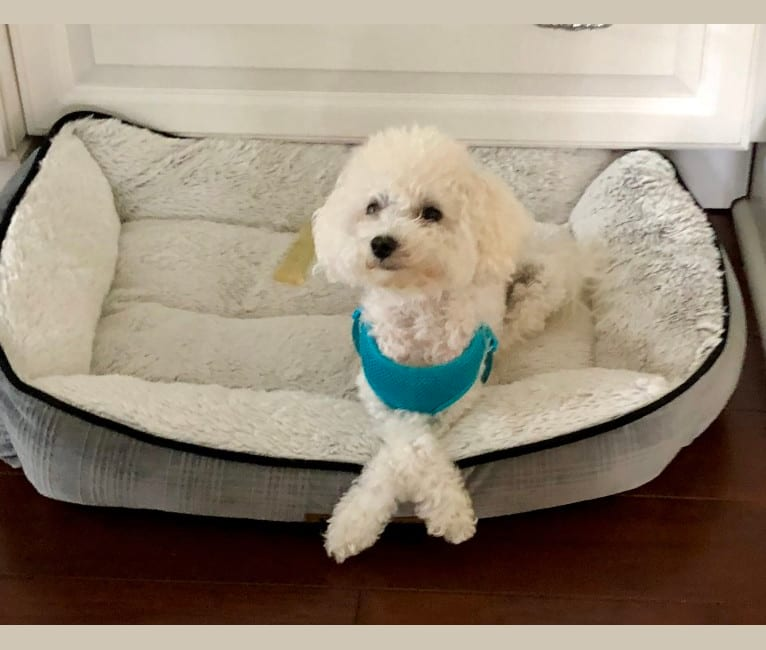 Photo of Peyton, a Poodle (Small)  in Colorado Springs, CO, USA