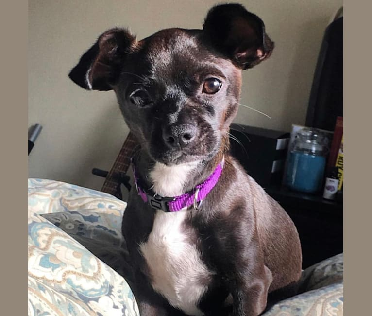 Photo of Ube, a Chihuahua, Dachshund, and Yorkshire Terrier mix in Los Angeles, CA, USA
