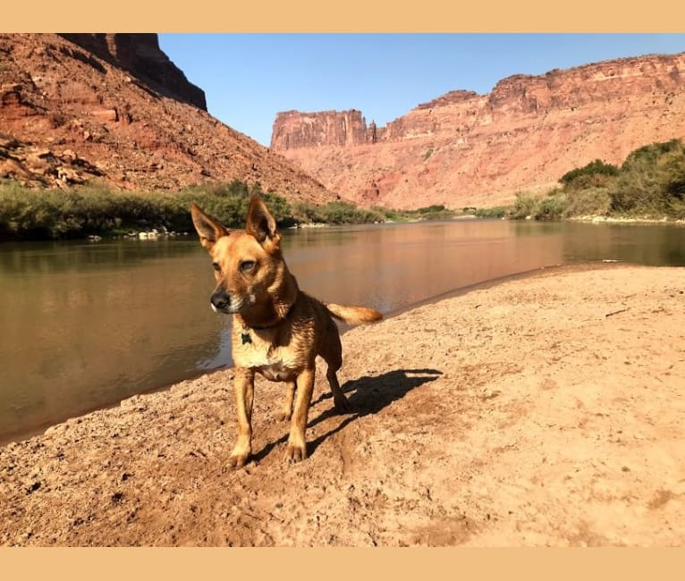 Photo of Howie Jean, a Border Collie, Labrador Retriever, Australian Cattle Dog, American Pit Bull Terrier, and Chow Chow mix in New Mexico, USA