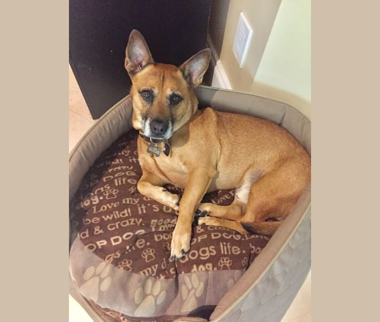 Photo of Teddy, an American Staffordshire Terrier, Chow Chow, Chihuahua, and American Pit Bull Terrier mix in Florida, USA