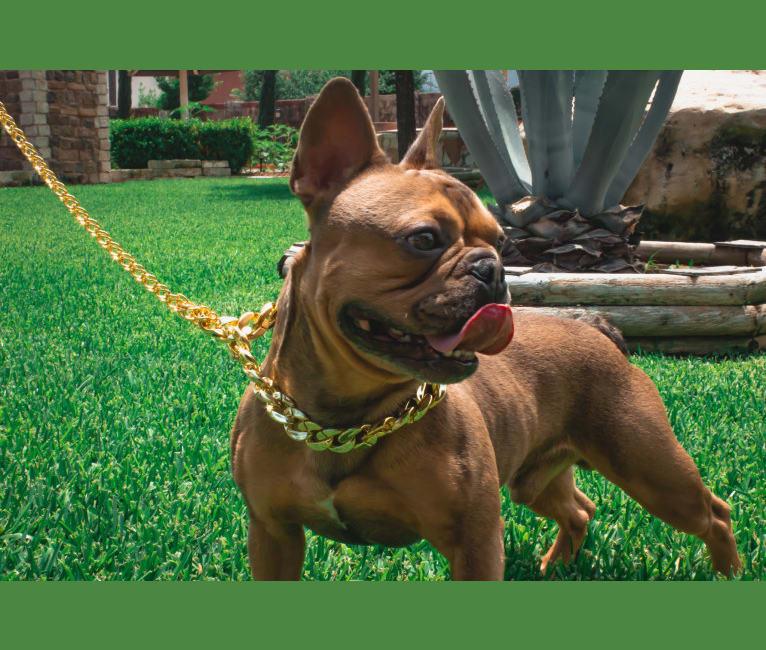 Photo of Stitch, a French Bulldog  in Crowley, TX, USA