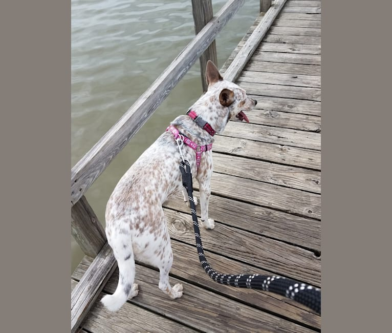 Photo of Bella, an Australian Cattle Dog, Catahoula Leopard Dog, Chow Chow, Rat Terrier, and Border Collie mix in Greenville, Texas, USA