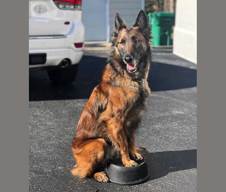 Photo of Han, a Belgian Shepherd  in Portsmouth, Virginia, USA