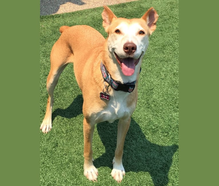 Photo of Emma, an American Pit Bull Terrier, Weimaraner, Boxer, German Shepherd Dog, and Mixed mix in Hollister, California, USA