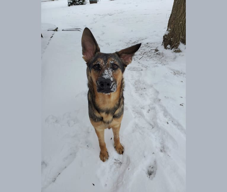 Photo of Glory, a German Shepherd Dog  in Grayslake, Illinois, USA