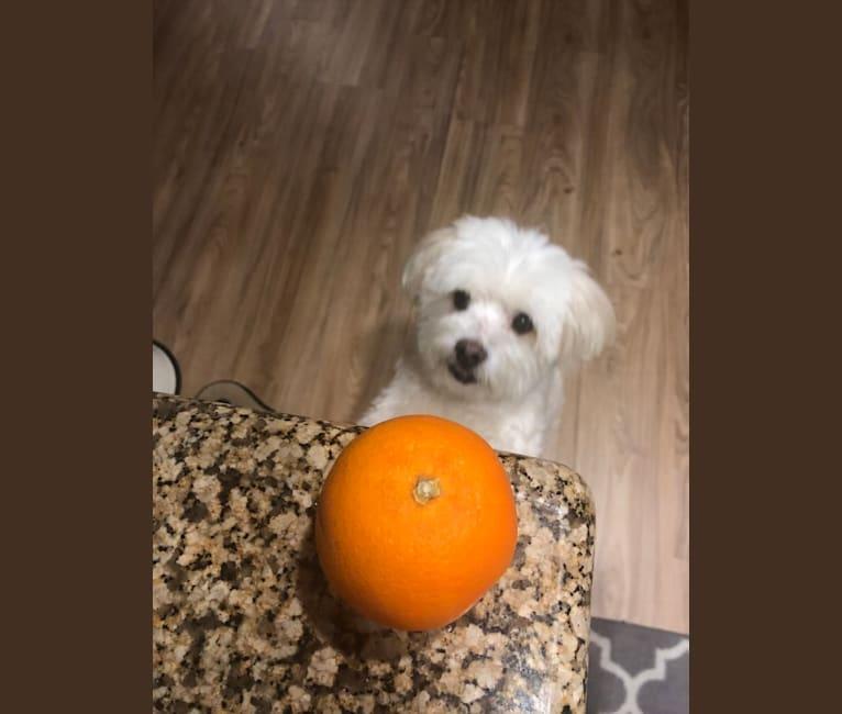 Photo of Koopa, a Maltese and Pomeranian mix in Kentucky, USA