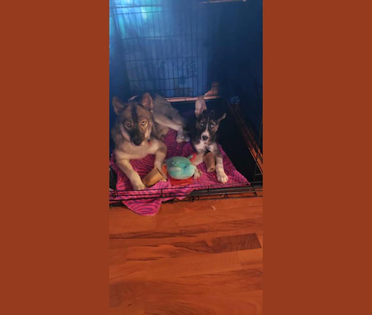 Photo of Beyla, a Siberian Husky, Border Collie, and Beagle mix