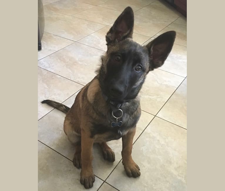 Photo of Mishka, a Belgian Malinois, Dutch Shepherd, and Mixed mix in Sacramento, CA, USA