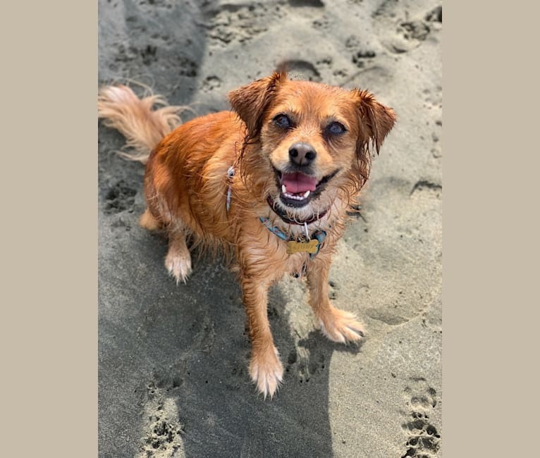 Photo of Ajuni, a Chihuahua, Dachshund, Poodle (Small), and Mixed mix in McFarland, CA, USA