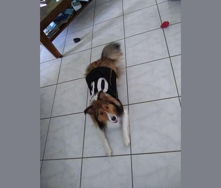 Photo of Bruno, a Shetland Sheepdog