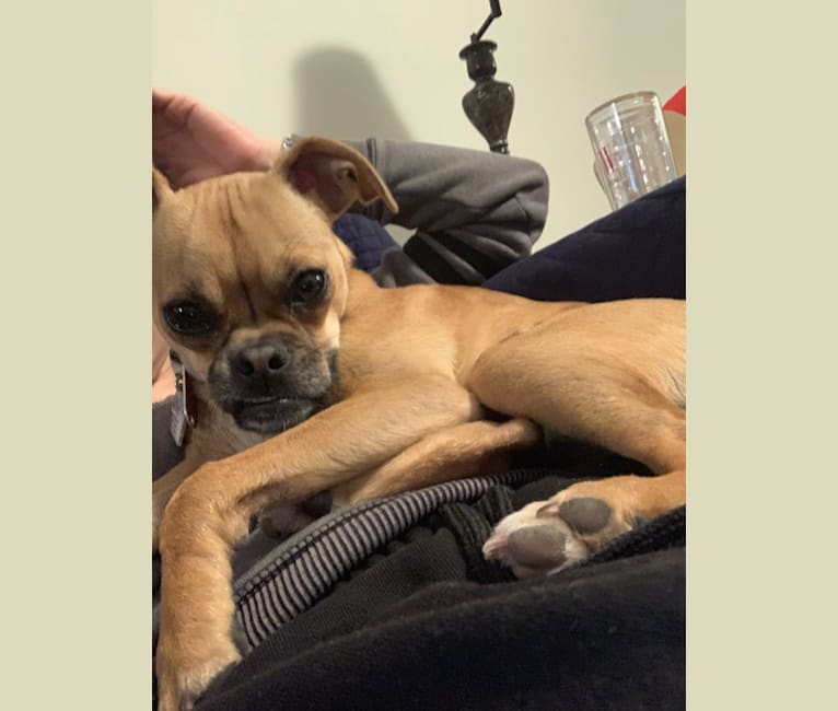Photo of Ginger, a Pug, Chihuahua, and Rat Terrier mix in Ohio, USA