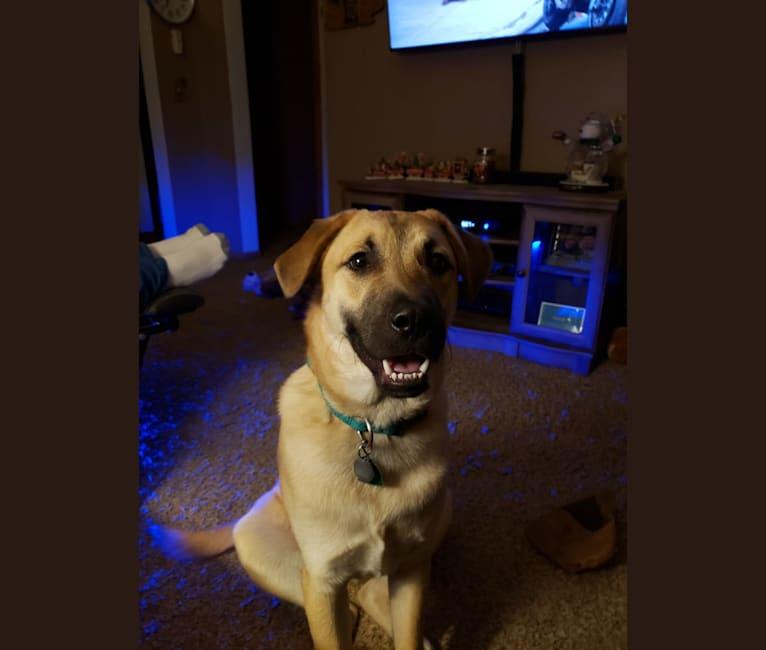 Photo of Blu Tanner, an Anatolian Shepherd Dog, American Pit Bull Terrier, Labrador Retriever, and Australian Cattle Dog mix in Texas, USA
