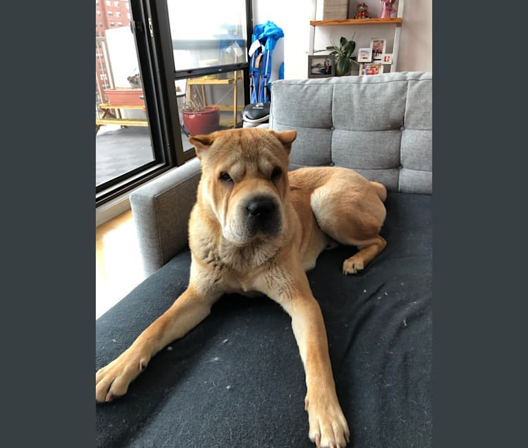Photo of Norman, a Chinese Shar-Pei  in Chicago, Illinois, USA