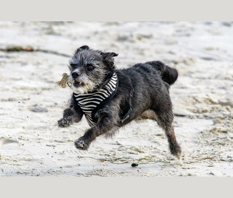 Photo of Scruffy, a Poodle (Small), Chihuahua, Pomeranian, and Mixed mix in Salinas, California, USA