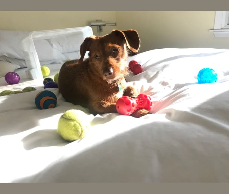 Photo of Scrappy, a Dachshund, Yorkshire Terrier, and Chihuahua mix in Harvard, Massachusetts, USA