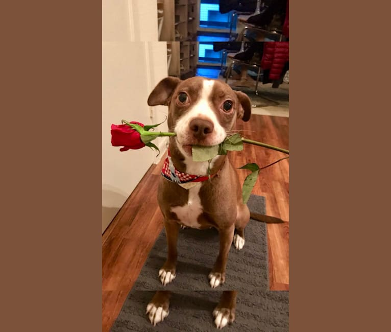 Photo of Bucky, an American Pit Bull Terrier, Boxer, American Staffordshire Terrier, Poodle (Small), and Mixed mix in Dallas, Texas, USA