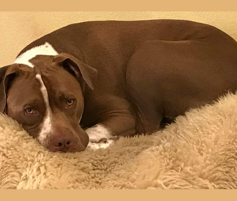 Photo of Pyrtek, an American Pit Bull Terrier and American Staffordshire Terrier mix in Los Angeles, California, USA