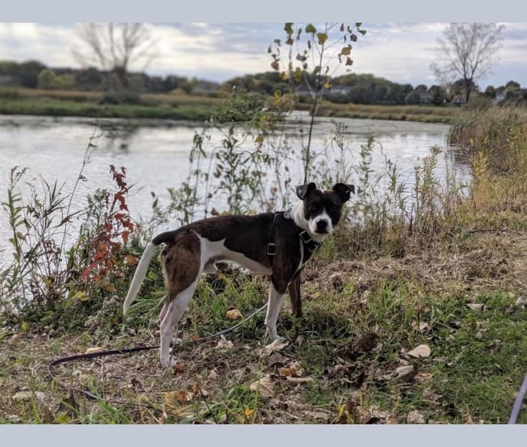 Photo of Pan, a Russell-type Terrier, Border Collie, and Staffordshire Bull Terrier mix in Ransomville, NY, USA