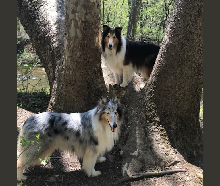 Photo of Gordon, a Collie  in Maryland, USA
