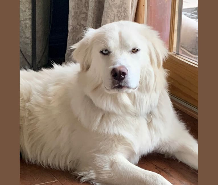 Photo of Pearl, a Great Pyrenees and Siberian Husky mix in Tahlequah, Oklahoma, USA