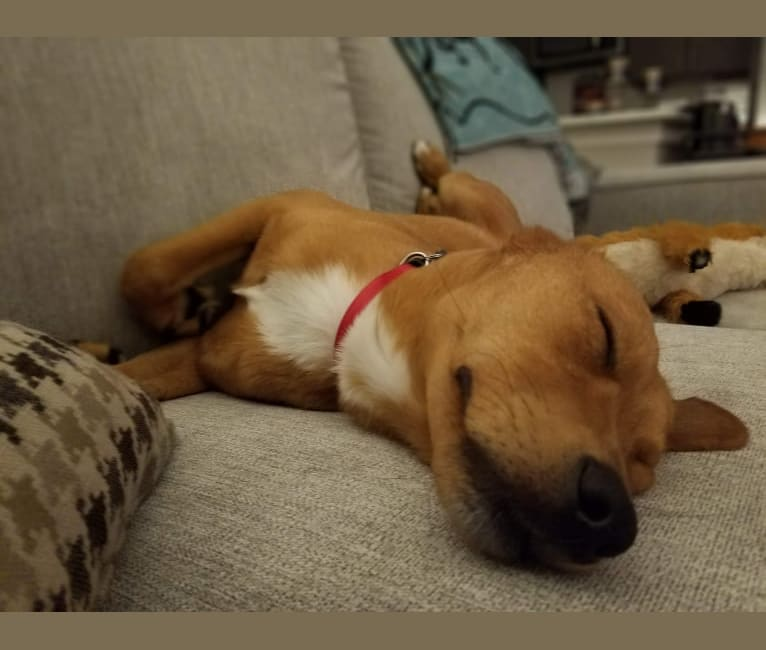 Photo of Buddy, a Chow Chow, American Pit Bull Terrier, Labrador Retriever, Beagle, Pekingese, and German Shepherd Dog mix in Cary, North Carolina, USA
