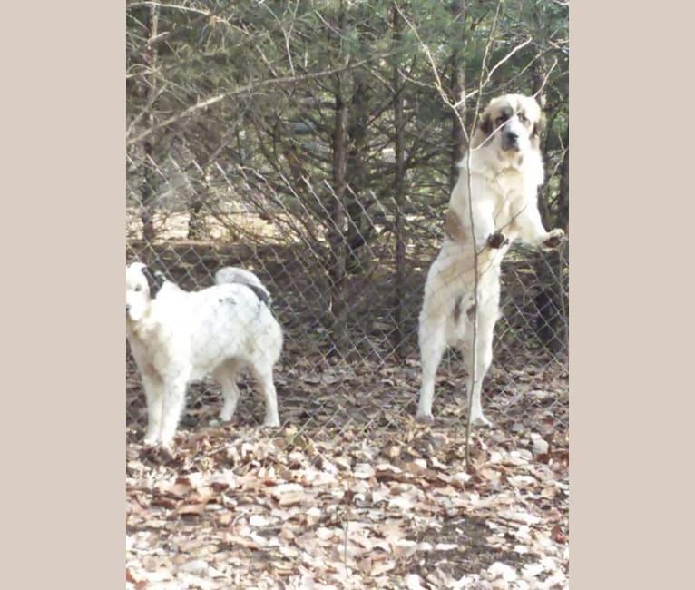 Photo of Rogue, a Great Pyrenees and Anatolian Shepherd Dog mix in Topeka, Kansas, USA