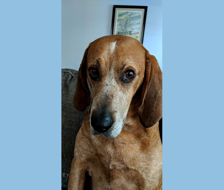 Photo of Raymond, an American English Coonhound