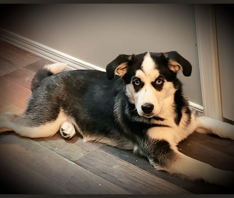 Photo of Ora Skylah Gray, a Siberian Husky, Cocker Spaniel, and Mixed mix in Cobalt, Ontario, Canada